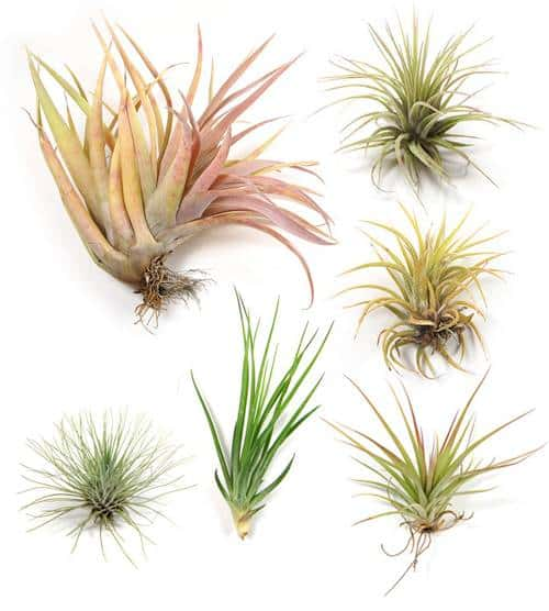 airplants Love is in the Air (Plants)